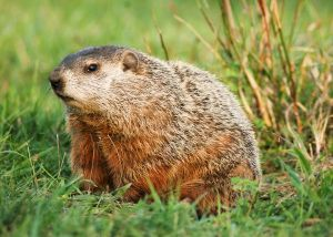 Groundhog Removal Atlanta Ga Groundhog Control Atlanta