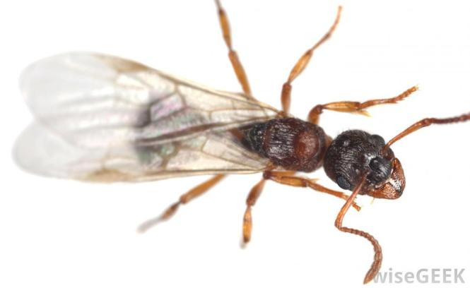 A Close Up Of A Carpenter Ant Crawling On Wood
