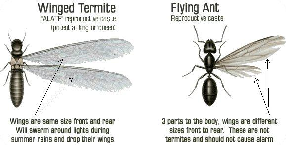 Odorous Ant Illustration