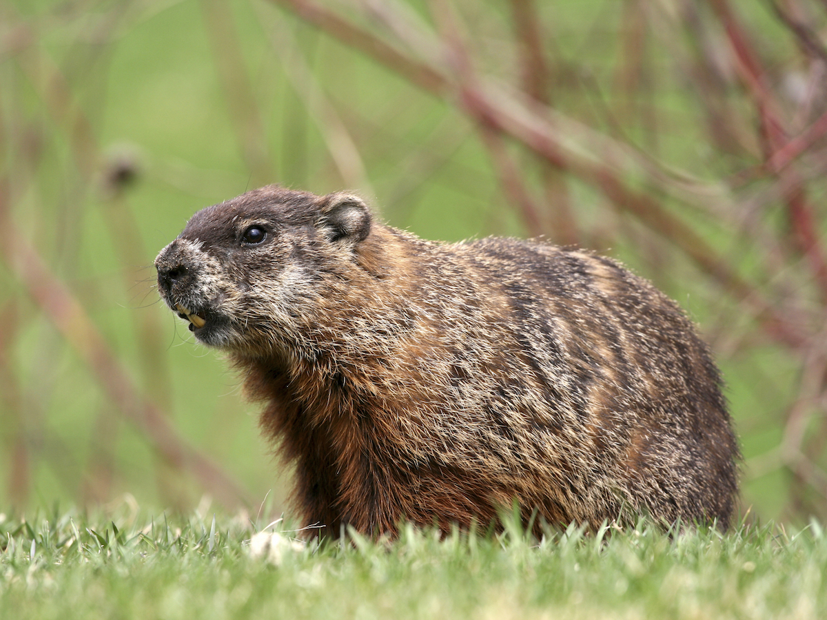 how to get rid of a groundhog in my backyard 28 images community how to get rid of a