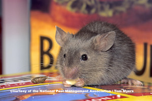 What Diseases Do Mice Rodents Carry Rodent Diseases