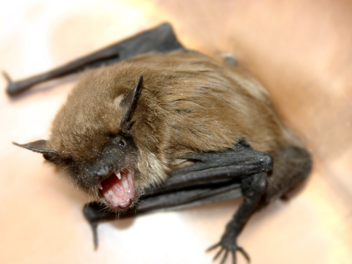 How To Get Rid Of Bats Bat Facts Amp Removal