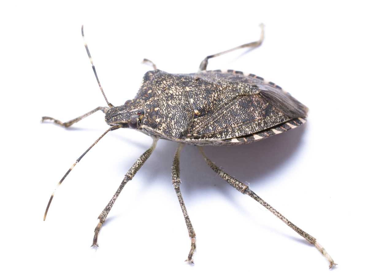 https://i1.wp.com/www.pestworld.org/media/561857/brown-marmorated-stink-bug-from-side-white.jpg