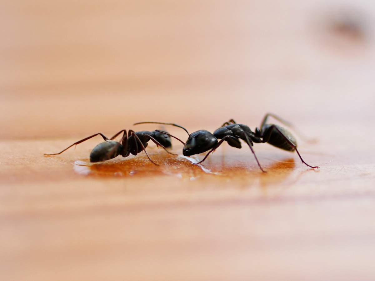 Little Black Ants Get Rid Of Little Ants In Your House