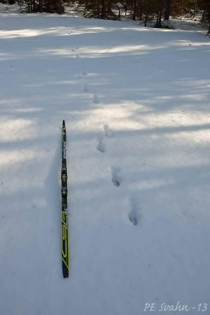 Vargspår (skidan 207cm lång) här djup snö: Datum: 2013-03-08,  Tid: 10:56:37 Kamerahus: NIKON D800 Objektiv: VR Zoom 24-120mm f/4G IF-ED Inställd: 24mm,   Bl: 9 Slutartid:1/125, ISO: 100 Exp-komp: +0.3