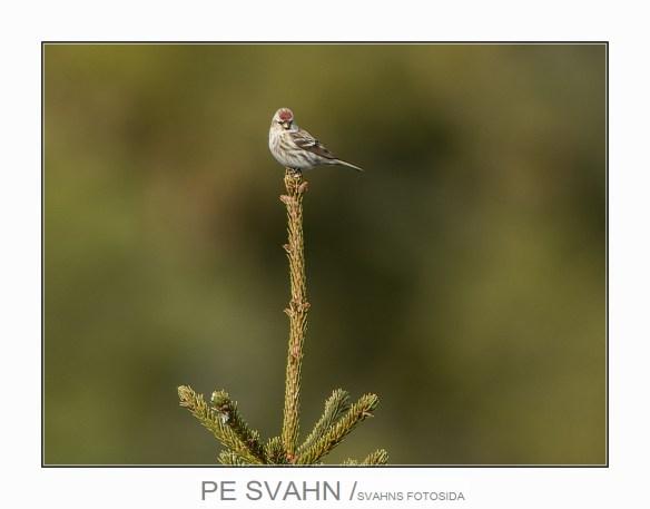 gråsiska-DSC_8793-PE Svahn-25022017