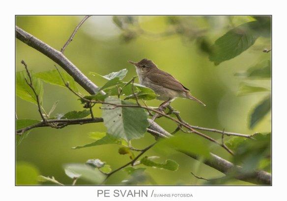 busksångare-DSC_0530-PE Svahn-11062017