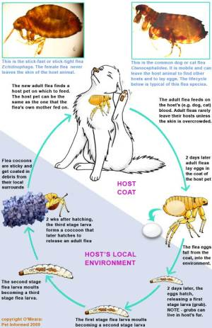 The Flea Life Cycle and How it Guides Flea Control and Prevention