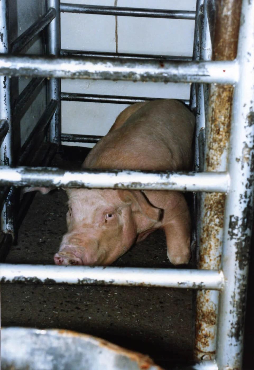 pig killed for food