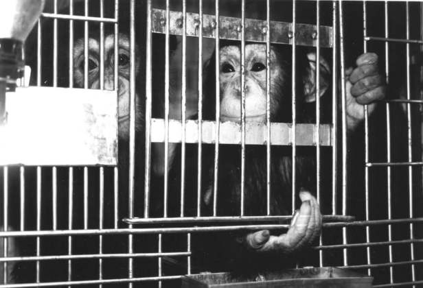 Image result for poor animal in cage