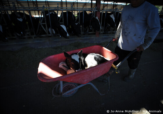 Calf Taken to Veal Crate