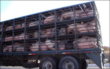 3666.Pig_5F00_Transport_5F00_465.jpg