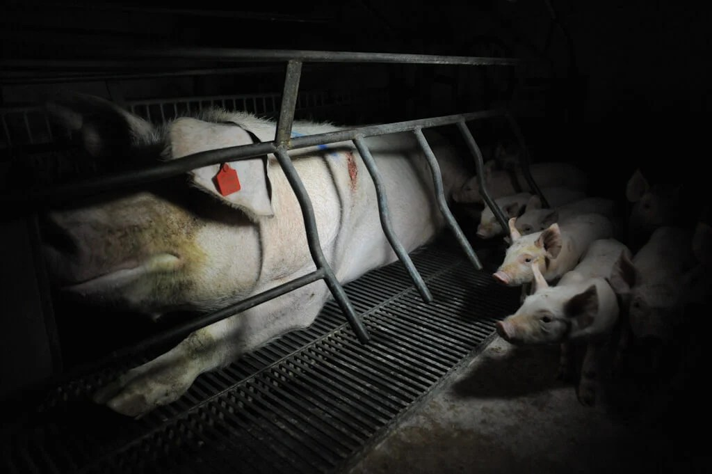 A Mother Pig in a Farrowing Crate on a Factory Farm