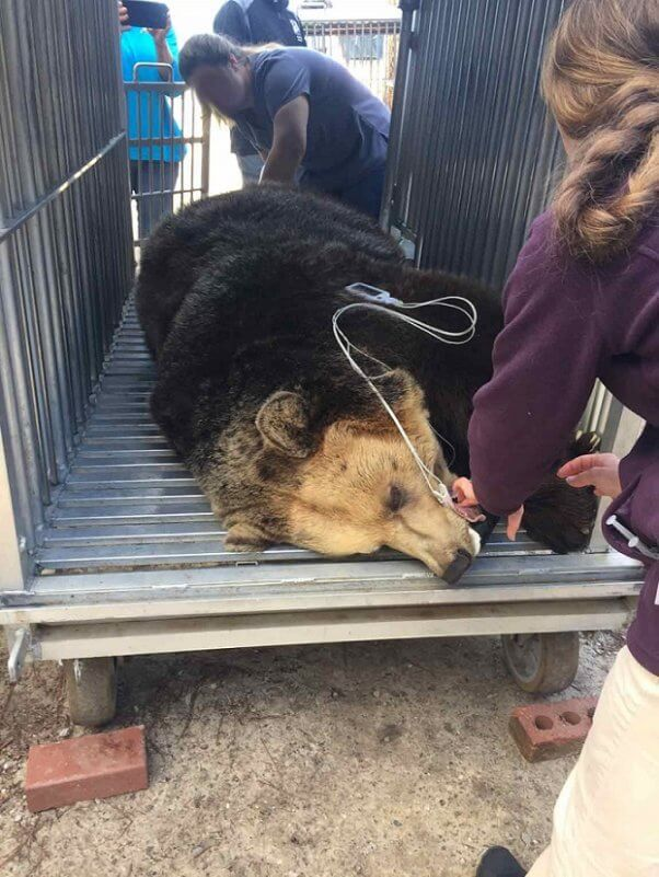 tregembo bear rescue, booger getting her physical before transport, peta bear rescues