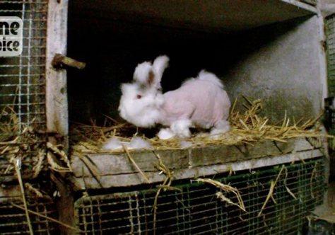 lapins angora épilé cage