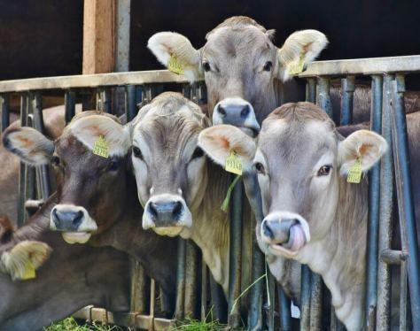 cows-1532909_1920