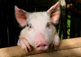 Video Shows How Far Pigs Will Go to Protect Their Friends From Death