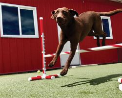 brown dog jumping over poll in front of red building