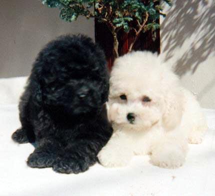 https://i1.wp.com/www.petbr.com.br/imagens/Poodle/Poodle05.jpg