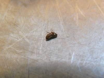 fleas in dogs