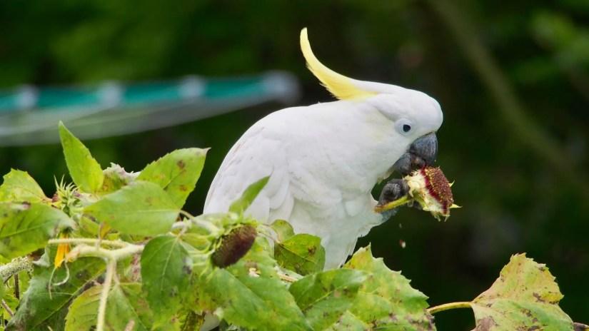What Do Cockatoos Eat