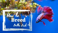 How To Breed Betta Fish: An Expert Guide For Successful Breeding