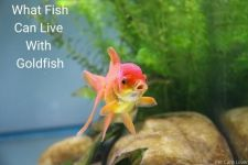 Facts About What Fish Can Live With Goldfish?