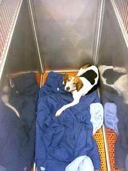 Dog recovering in kennel