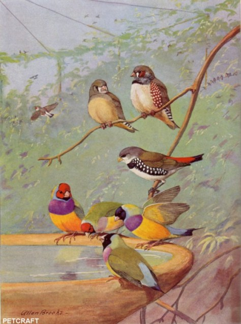 Lady Gouldians and other Australian Finches