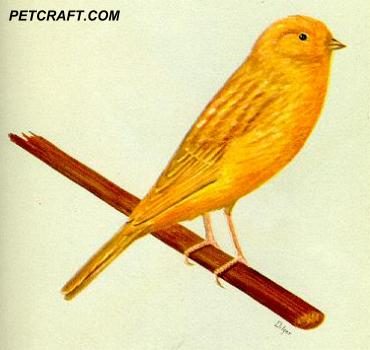 Miniature Fawn Border Fancy Canary