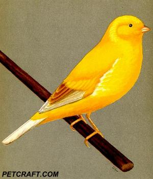 Cinnamon-Marked Norwich Canary