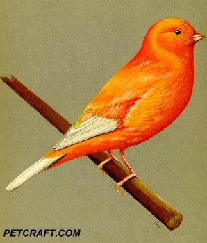 Colorfed Norwich Plain Head Canary
