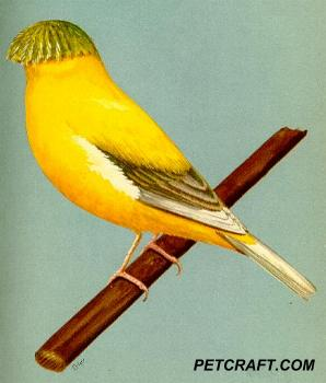 Wing-Marked Dark Crested Norwich Canary