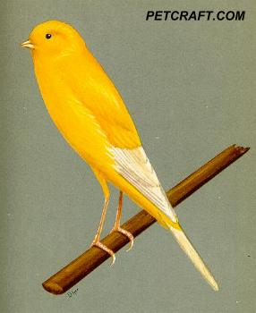 Clear Yellow Yorkshire Canary