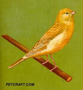 Fawn Chopper Canary