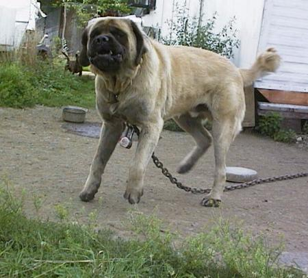 Mastiff dog male