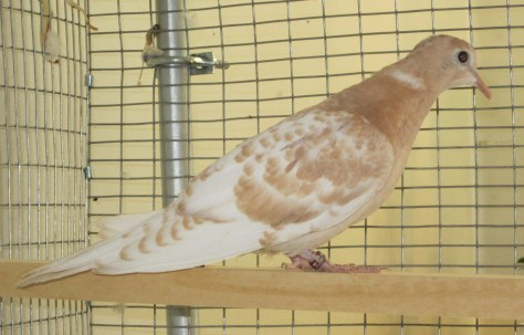Young orange pearl ringneck dove