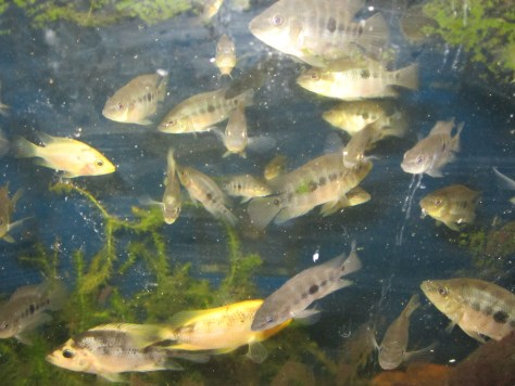Midas Cichlids for sale