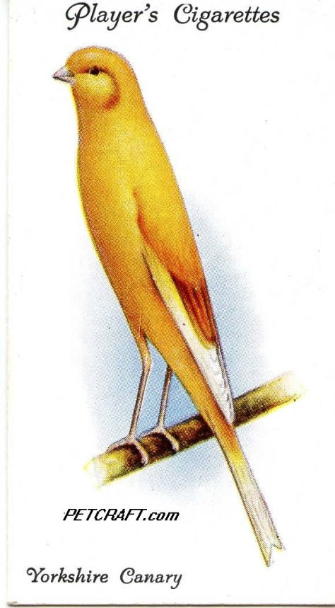 Yorkshire Canary — AVIARY AND CAGE BIRDS UK CARDS (1933)