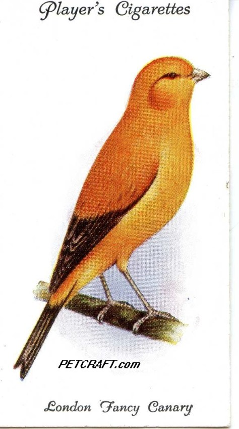 London Fancy Canary — AVIARY AND CAGE BIRDS UK CARDS (1933)