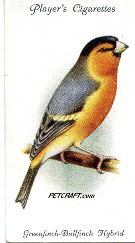 Greenfinch-Bullfinch Hybrid — AVIARY AND CAGE BIRDS UK CARDS (1933)