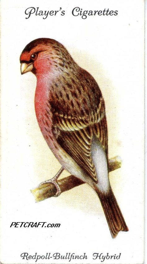 Redpoll-BULLFINCH HYBRID — AVIARY AND CAGE BIRDS UK CARDS (1933)