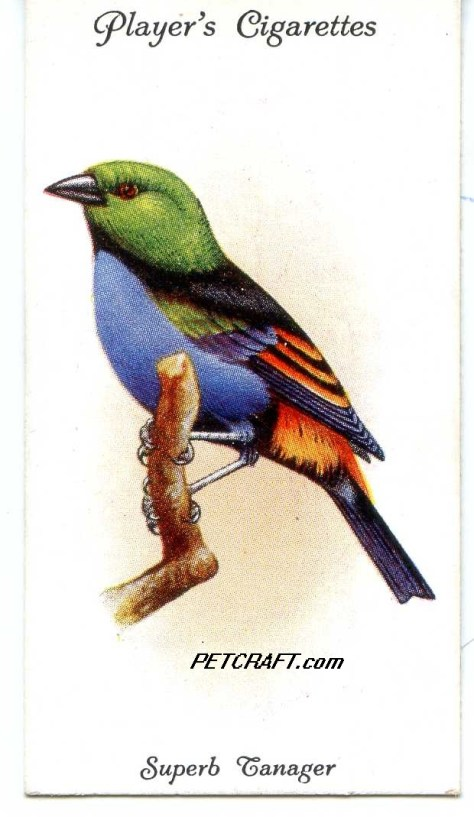 SUPERB TANAGER — AVIARY AND CAGE BIRDS UK CARDS (1933)