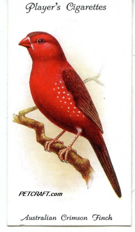 AUSTRALIAN CRIMSON FINCH — AVIARY AND CAGE BIRDS UK CARDS (1933)