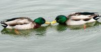Gay Ducks?