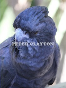 BLACK COCKATOO - AUSTRALIA #1 R5
