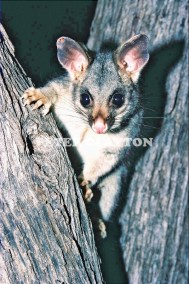 BRUSH TAIL POSSUM - AUSTRALIA #1 R4
