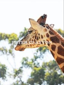 GIRAFFE - AFRICA #2 R5