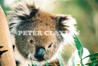 KOALA AUSTRALIA R4  (2)