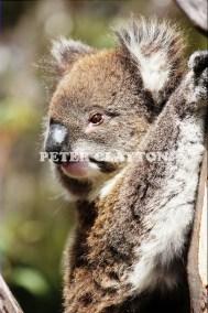 KOALA AUSTRALIA R4  (4)